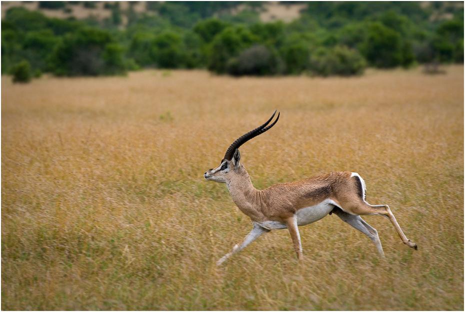 Gazela w biegu