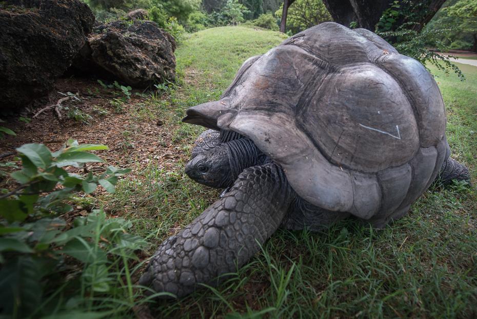 Żółw Gady nikon d750 Nikon AF-S Nikkor 14-24mm f/2.8G Kenia 0 żółw zwierzę lądowe fauna trawa wspólny, przyciągający żółwia chelydridae gad organizm Park Narodowy