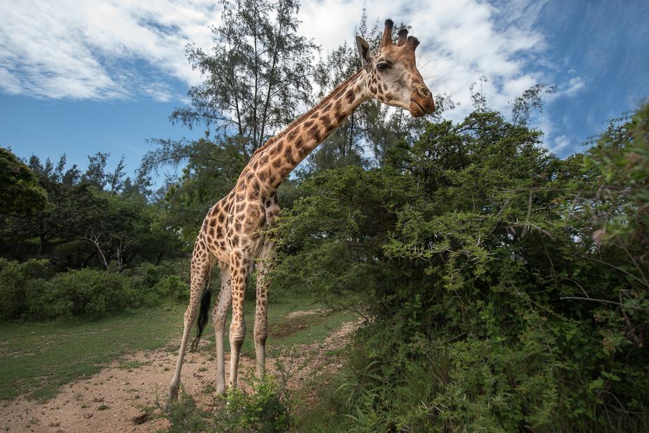 Żyrafa Ssaki nikon d750 Nikon AF-S Nikkor 14-24mm f/2.8G Kenia 0 żyrafa dzikiej przyrody żyrafy zwierzę lądowe ekosystem rezerwat przyrody Park Narodowy fauna drzewo trawa