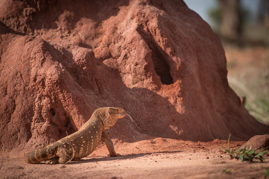 Jaszczurka Ssaki nikon d750 Nikon AF-S Nikkor 70-200mm f/2.8G Kenia 0 fauna ekosystem skała zwierzę lądowe agamidae Park Narodowy tworzenie agama Badlands ecoregion