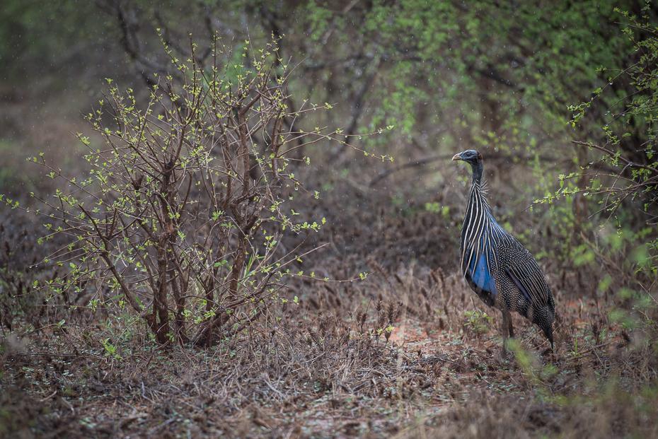 Perlica sępia Ptaki nikon d750 Nikon AF-S Nikkor 70-200mm f/2.8G Kenia 0 dzikiej przyrody ekosystem fauna ptak pustynia rezerwat przyrody dziób lesisty teren las trawa