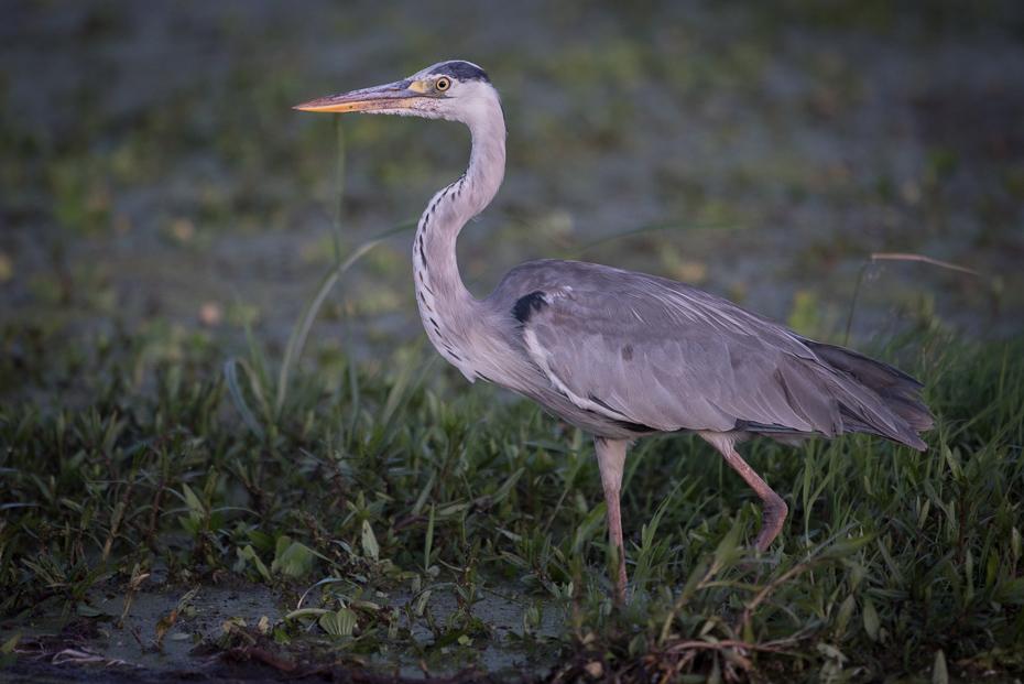 Czapla siwa Ptaki nikon d750 Sigma APO 500mm f/4.5 DG/HSM Kenia 0 ptak fauna ekosystem dziób dzikiej przyrody czapla pelecaniformes mała niebieska czapla Wielka czapla organizm