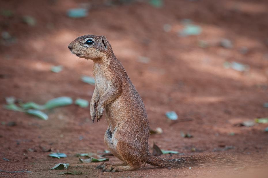 Wiewiórka Ssaki Nikon D300 Sigma APO 500mm f/4.5 DG/HSM Kenia 0 wiewiórka fauna ssak zwierzę lądowe piesek preriowy gryzoń organizm dzikiej przyrody pysk