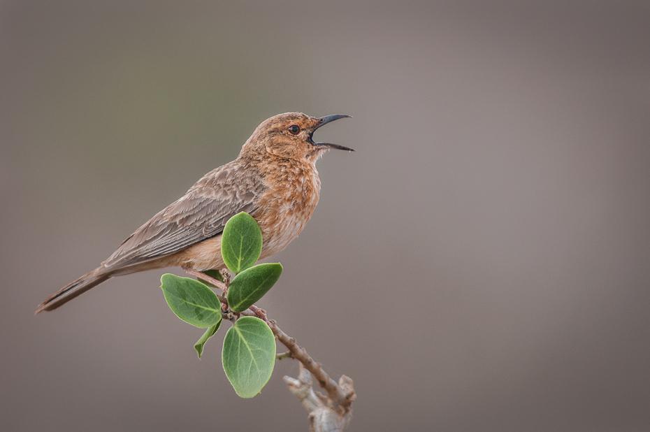 Skowroniec rdzawolicy Ptaki Nikon D300 Sigma APO 500mm f/4.5 DG/HSM Kenia 0 ptak fauna dziób strzyżyk dzikiej przyrody ranek koliber skrzydło flycatcher starego świata pióro