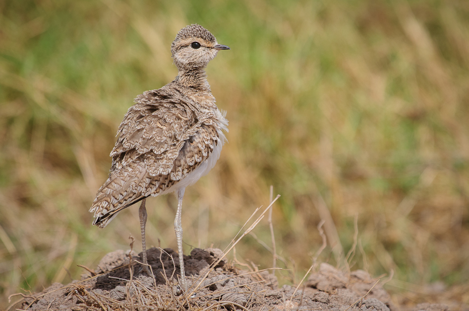 Rączak dwuobrożny Ptaki Nikon D300 Sigma APO 500mm f/4.5 DG/HSM Kenia 0 ptak ekosystem fauna dziób dzikiej przyrody skowronek ecoregion łąka shorebird drop
