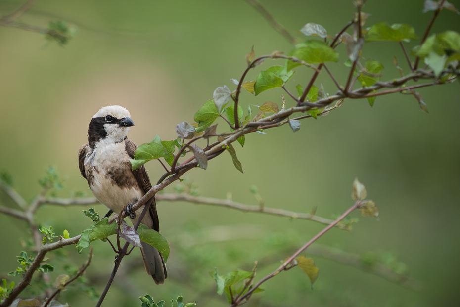 Białoczub białorzytny Ptaki nikon d750 Sigma APO 500mm f/4.5 DG/HSM Kenia 0 ptak fauna dziób gałąź flora dzikiej przyrody Gałązka ptak przysiadujący drzewo wróbel