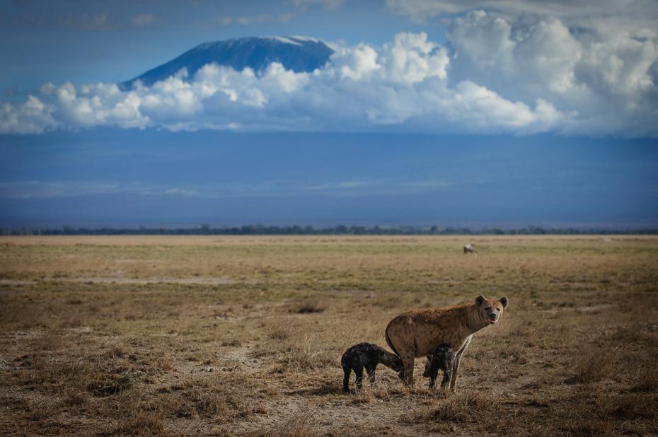 Hieny Kilimandżaro Krajobraz Nikon D300 Sigma APO 500mm f/4.5 DG/HSM Kenia 0 łąka ekosystem dzikiej przyrody niebo sawanna preria Równina step pastwisko Chmura