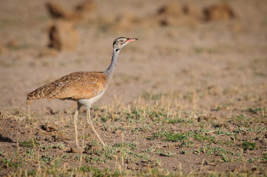 Dropik senegalski Ptaki Nikon D300 Sigma APO 500mm f/4.5 DG/HSM Kenia 0 ekosystem ptak fauna zwierzę lądowe dzikiej przyrody żuraw jak ptak łąka ecoregion drop dźwig