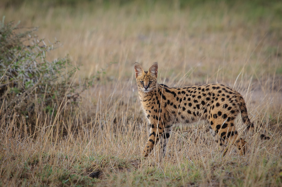 Serwal Ssaki Nikon D300 Sigma APO 500mm f/4.5 DG/HSM Kenia 0 dzikiej przyrody zwierzę lądowe gepard łąka ekosystem fauna ssak pustynia małe i średnie koty trawa