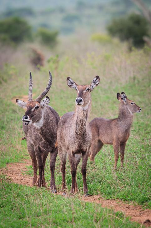 Kob śniady Ssaki Nikon D300 Sigma APO 500mm f/4.5 DG/HSM Kenia 0 dzikiej przyrody fauna waterbuck łąka antylopa zwierzę lądowe ekosystem preria Park Narodowy trawa
