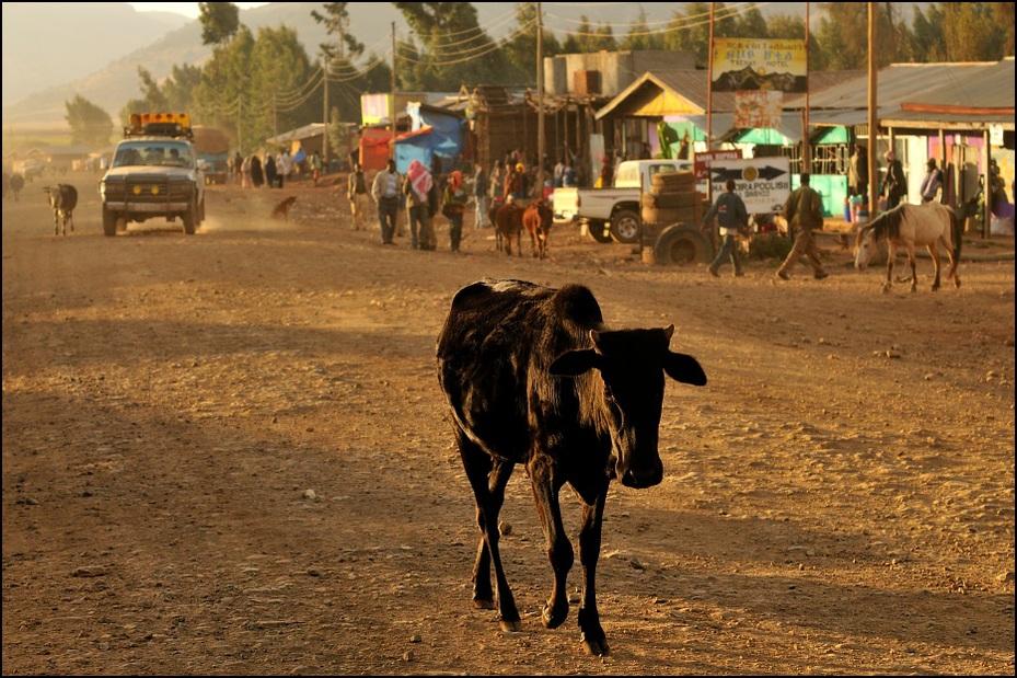 Dinsho Krajobraz Nikon D300 AF-S Micro Nikkor 60mm f/2.8G Etiopia 0 juczne zwierzę piasek obszar wiejski bydło takie jak ssak żywy inwentarz krajobraz drzewo