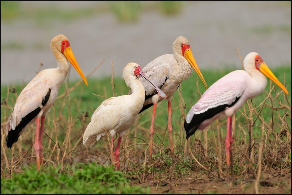 Warzęcha dławigad Ptaki Nikon D300 Sigma APO 500mm f/4.5 DG/HSM Etiopia 0 ptak bocian bocian biały Ciconiiformes dziób