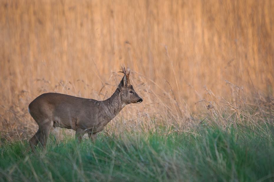 Sarna Inne Nikon D300 Sigma APO 500mm f/4.5 DG/HSM Zwierzęta dzikiej przyrody jeleń fauna ssak łąka trawa preria Sarna z bialym ogonem łopata zwierzę lądowe