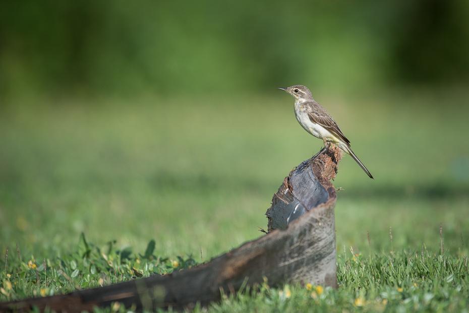 Pliszka żółta Ptaki nikon d750 NIKKOR 200-500mm f/5.6E AF-S Tajlandia 0 ptak ekosystem fauna dziób dzikiej przyrody flycatcher starego świata ranek trawa łąka strzyżyk