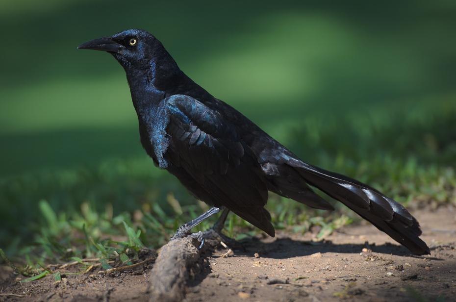 Wilgowron czarny Ptaki Nikon D7000 AF-S Nikkor 70-200mm f/2.8G Texas 0 ptak fauna dziób wrona amerykańska wrona Wrona jak ptak kos nowa wrona kaledońska organizm kruk