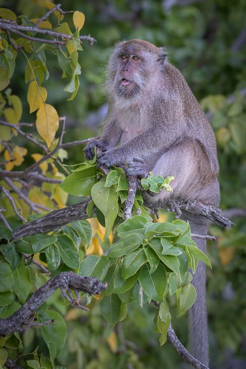 Makak Małpy nikon d750 NIKKOR 200-500mm f/5.6E AF-S Tajlandia 0 makak fauna ssak dzikiej przyrody prymas liść flora stary świat małpa nowa małpa świata organizm