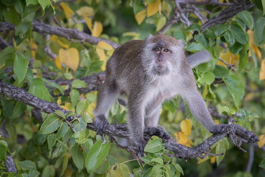 Makak Małpy nikon d750 NIKKOR 200-500mm f/5.6E AF-S Tajlandia 0 makak fauna ssak dzikiej przyrody liść prymas flora stary świat małpa nowa małpa świata organizm