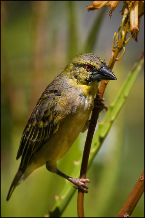 Wikłacz zmienny Ptaki Nikon D300 Sigma APO 500mm f/4.5 DG/HSM Kenia 0 ptak dziób fauna dzikiej przyrody zięba flycatcher starego świata wróbel organizm Emberizidae ptak przysiadujący
