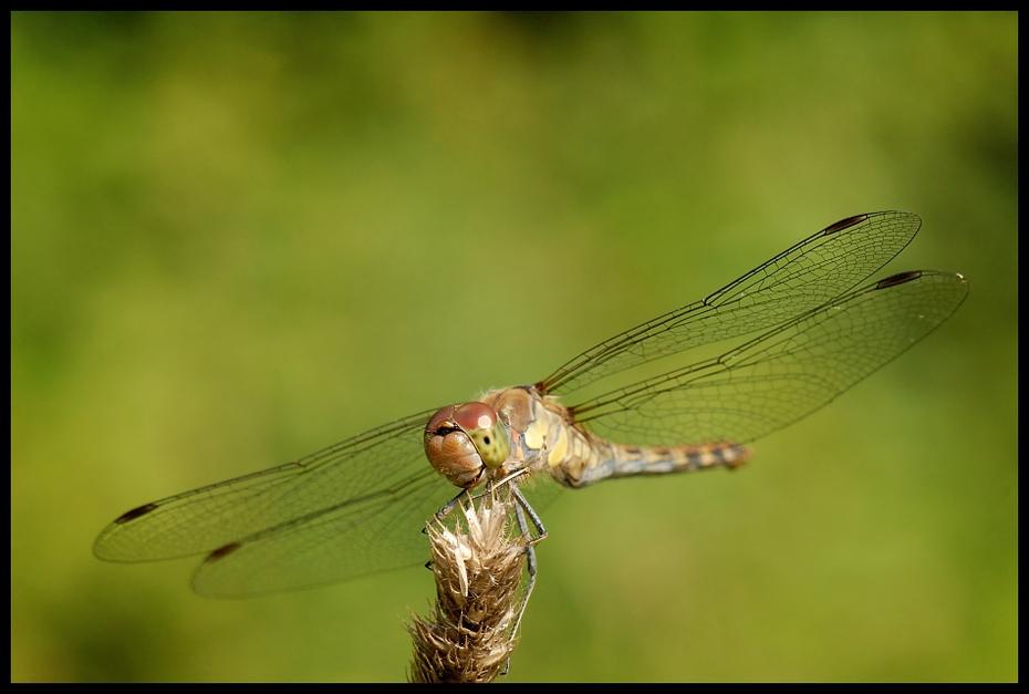 Ważka Ważki Nikon D200 AF-S Micro-Nikkor 105mm f/2.8G IF-ED Makro owad ważka ważki i muchy bezkręgowy dzikiej przyrody fauna fotografia makro ścieśniać organizm damselfly
