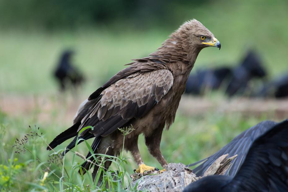 Orlik krzykliwy Biesczaty Nikon D7200 NIKKOR 200-500mm f/5.6E AF-S ptak ptak drapieżny fauna orzeł dziób dzikiej przyrody accipitriformes organizm sęp sokół