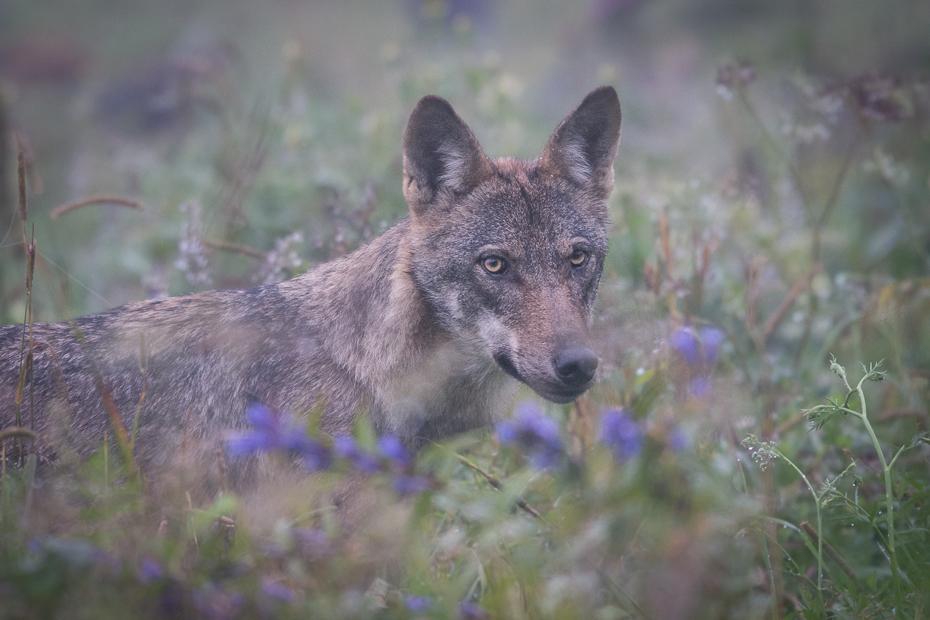 Wilk gorczycy Biesczaty Nikon D7200 NIKKOR 200-500mm f/5.6E AF-S dzikiej przyrody szakal fauna ssak pustynia kojot czerwony wilk dhole pysk