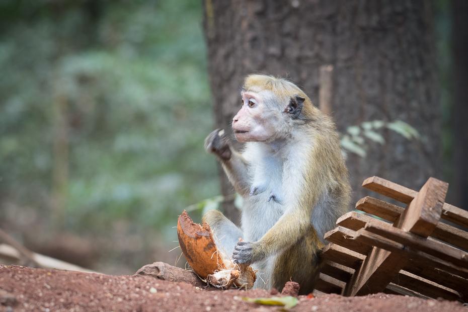 Makak Ssaki Nikon D7200 AF-S Nikkor 70-200mm f/2.8G Sri Lanka 0 fauna makak ssak prymas dzikiej przyrody stary świat małpa świątynia nowa małpa świata organizm drzewo
