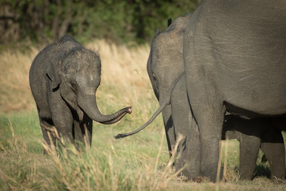 Słoń cejloński Ssaki Nikon D7200 NIKKOR 200-500mm f/5.6E AF-S Sri Lanka 0 słoń słonie i mamuty dzikiej przyrody zwierzę lądowe słoń indyjski ssak fauna pustynia Słoń afrykański kieł