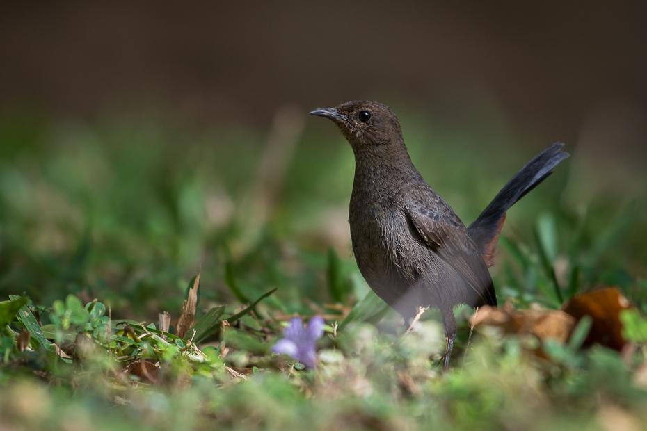 Opocznik Ptaki Nikon D7200 NIKKOR 200-500mm f/5.6E AF-S Sri Lanka 0 ptak fauna dziób ekosystem dzikiej przyrody organizm flycatcher starego świata słowik kos strzyżyk