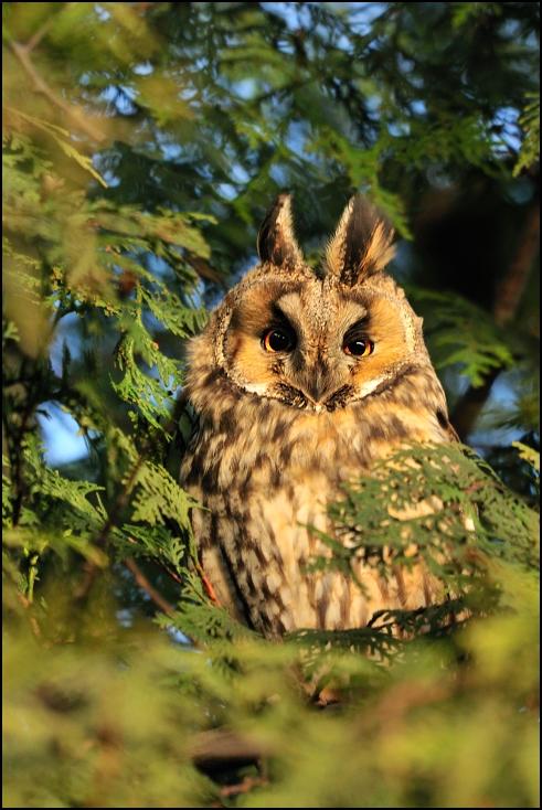 Sowa uszatka Ptaki Nikon D300 Sigma APO 500mm f/4.5 DG/HSM Zwierzęta sowa dzikiej przyrody fauna ptak dziób ptak drapieżny liść drzewo gałąź organizm