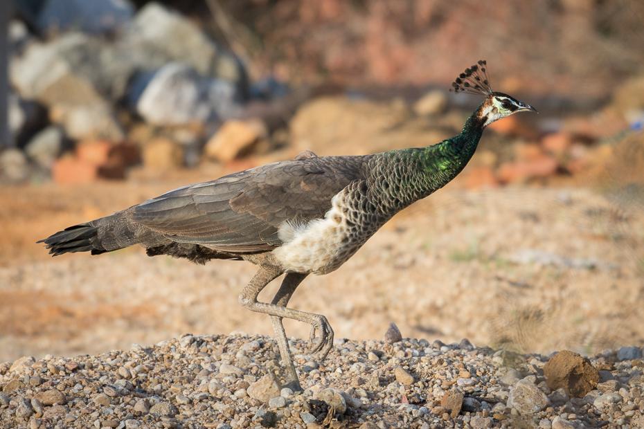 Paw indyjski Ptaki Nikon D7200 NIKKOR 200-500mm f/5.6E AF-S Sri Lanka 0 ptak fauna ekosystem dziób dzikiej przyrody ecoregion pióro organizm galliformes