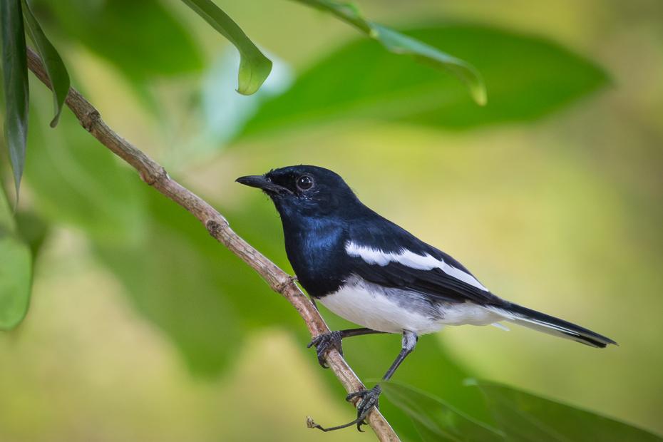 Sroczek zmienny Ptaki Nikon D7200 NIKKOR 200-500mm f/5.6E AF-S Sri Lanka 0 ptak fauna dziób dzikiej przyrody flycatcher starego świata organizm Emberizidae zięba skrzydło ptak przysiadujący