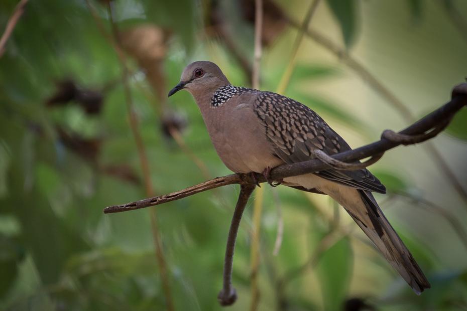 Turkawka Ptaki Nikon D7200 NIKKOR 200-500mm f/5.6E AF-S Sri Lanka 0 ptak fauna dziób dzikiej przyrody organizm