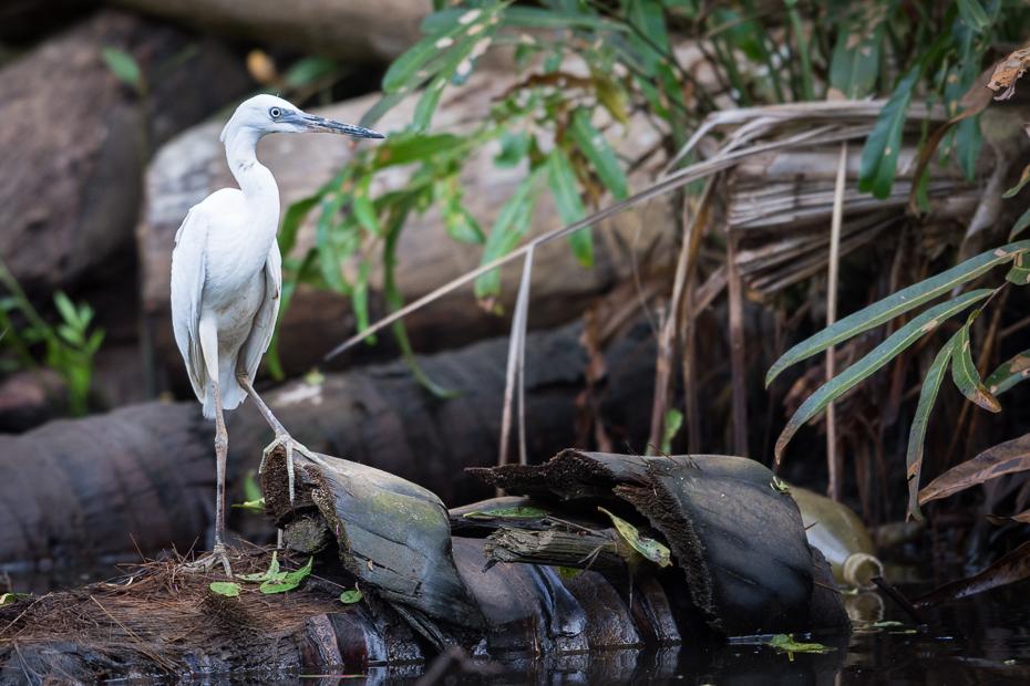 Czapla nadobna Ptaki Nikon D7200 NIKKOR 200-500mm f/5.6E AF-S Sri Lanka 0 ptak woda fauna dziób ekosystem odbicie dzikiej przyrody drzewo wodny ptak czapla
