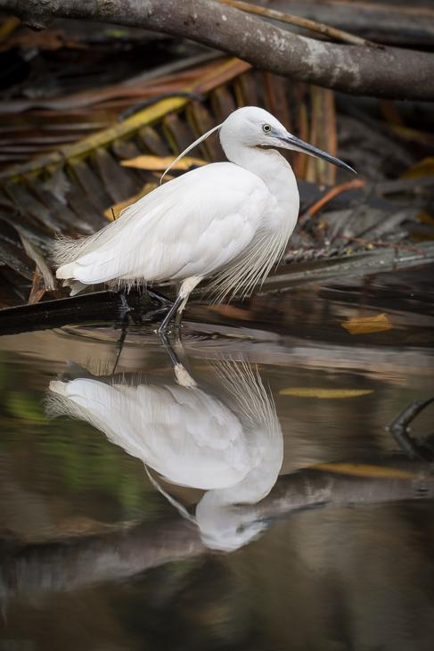 Czapla nadobna Ptaki Nikon D7200 NIKKOR 200-500mm f/5.6E AF-S Sri Lanka 0 ptak woda odbicie dziób fauna egret dzikiej przyrody pióro czapla wodny ptak