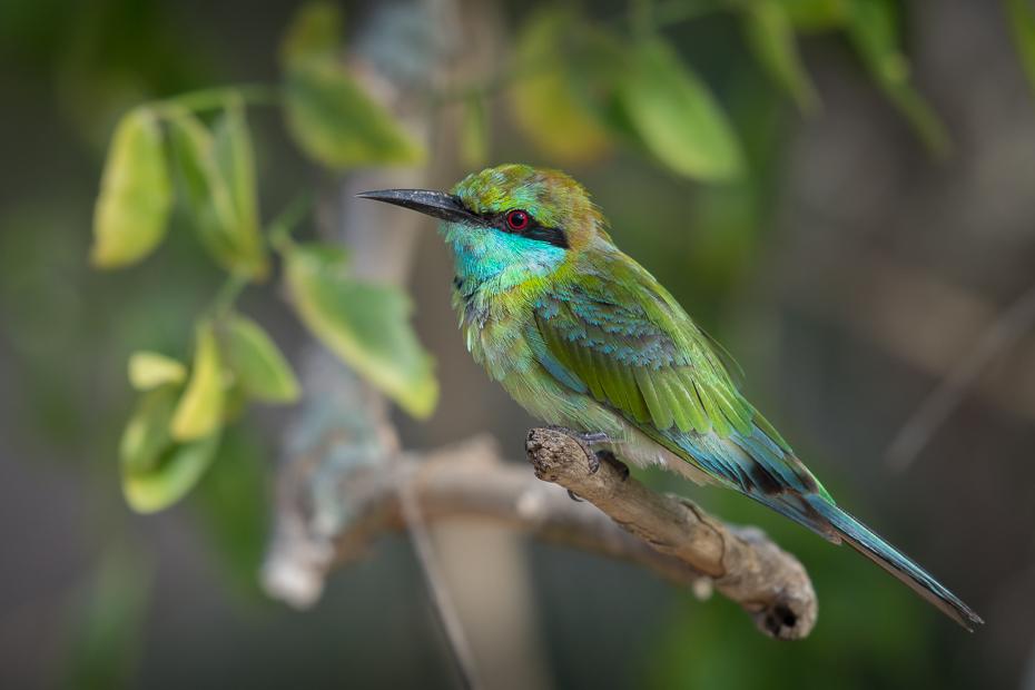 Żołna wschodnia Ptaki Nikon D7200 NIKKOR 200-500mm f/5.6E AF-S Sri Lanka 0 ptak koliber dziób fauna dzikiej przyrody jacamar coraciiformes organizm pióro zapylacz