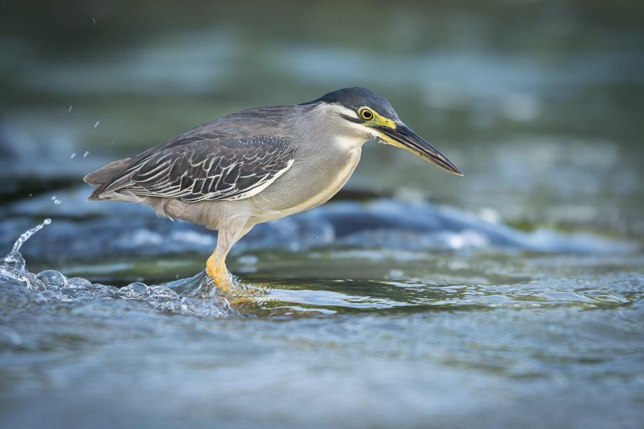 Czapla zielonawa Ptaki Nikon D7200 NIKKOR 200-500mm f/5.6E AF-S Mauritius 0 ptak dziób fauna dzikiej przyrody shorebird woda czapla zielona czapla organizm wodny ptak