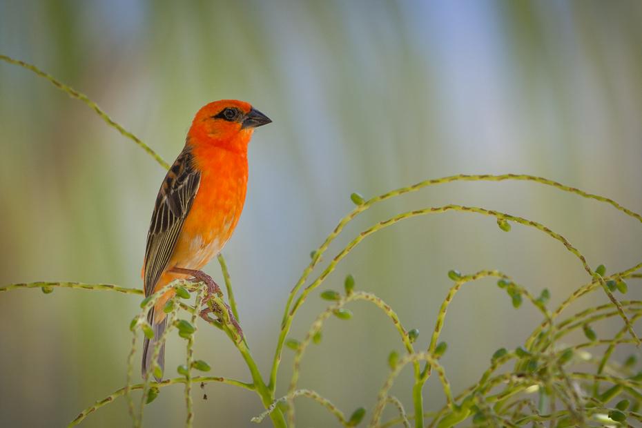 Wikłacz czerwony Ptaki Nikon D7200 NIKKOR 200-500mm f/5.6E AF-S Mauritius 0 ptak dziób fauna dzikiej przyrody zięba flycatcher starego świata organizm Emberizidae skrzydło gałąź