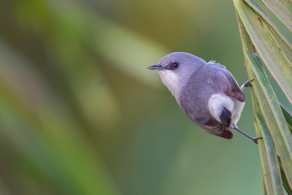 Szlarnik popielaty Ptaki Nikon D7200 NIKKOR 200-500mm f/5.6E AF-S Mauritius 0 ptak fauna dziób dzikiej przyrody ścieśniać organizm skrzydło flycatcher starego świata rodzina traw