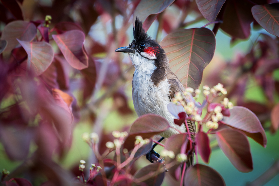 Bilbil zbroczony Ptaki Nikon D7200 NIKKOR 200-500mm f/5.6E AF-S Mauritius 0 ptak fauna flora dziób kwiat gałąź roślina kwitnąć wiosna słowik