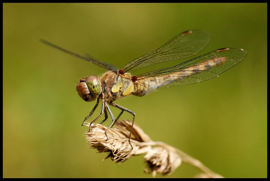 Ważka Ważki Nikon D200 AF-S Micro-Nikkor 105mm f/2.8G IF-ED Makro owad ważka ważki i muchy fotografia makro bezkręgowy fauna dzikiej przyrody ścieśniać organizm szkodnik