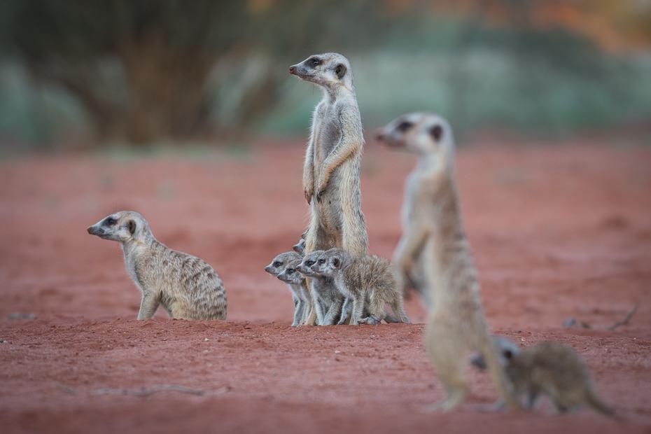Rodzina surykatek Ssaki Nikon D7200 NIKKOR 200-500mm f/5.6E AF-S Namibia 0 Surykatka ssak fauna dzikiej przyrody zwierzę lądowe mangusta organizm wąsy ecoregion pysk