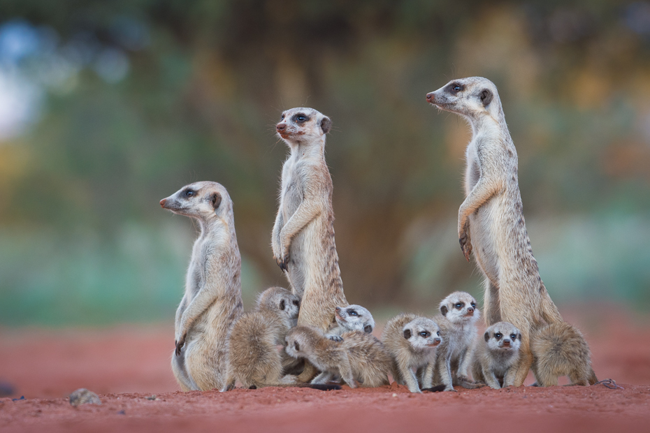 Rodzina surykatek Ssaki Nikon D7200 NIKKOR 200-500mm f/5.6E AF-S Namibia 0 Surykatka ssak zwierzę lądowe fauna dzikiej przyrody mangusta organizm ecoregion wąsy pysk