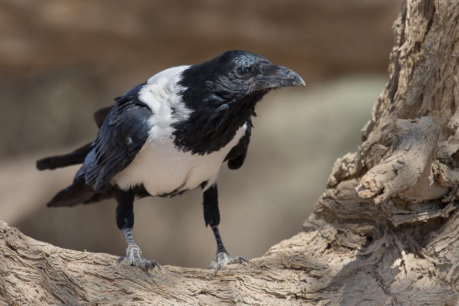 Kruk srokaty Ptaki Nikon D7200 AF-S Nikkor 70-200mm f/2.8G Namibia 0 ptak fauna dziób Wrona jak ptak sroka eurasian sroka wrona ptak przysiadujący organizm dzikiej przyrody