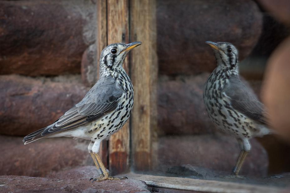 Drozd kroplisty Ptaki Nikon D7200 NIKKOR 200-500mm f/5.6E AF-S Namibia 0 ptak fauna dziób dzikiej przyrody pióro ptak przysiadujący organizm flycatcher starego świata Emberizidae zięba
