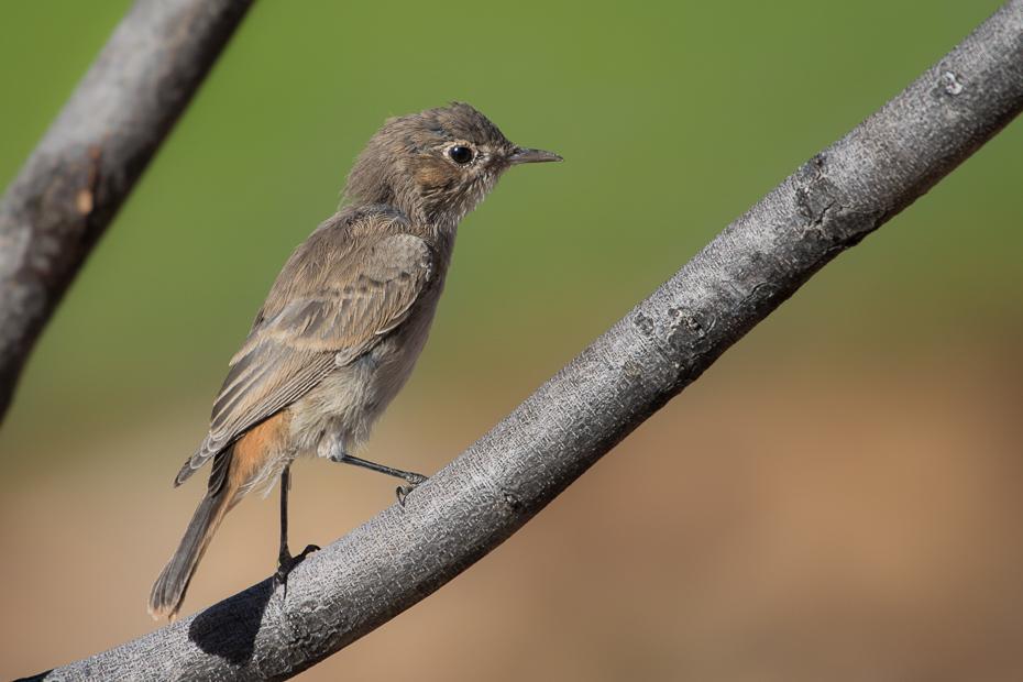 Szareczka rdzawosterna Ptaki Nikon D7200 NIKKOR 200-500mm f/5.6E AF-S Namibia 0 ptak fauna dziób dzikiej przyrody zięba flycatcher starego świata słowik zięba domowa Gałązka Emberizidae