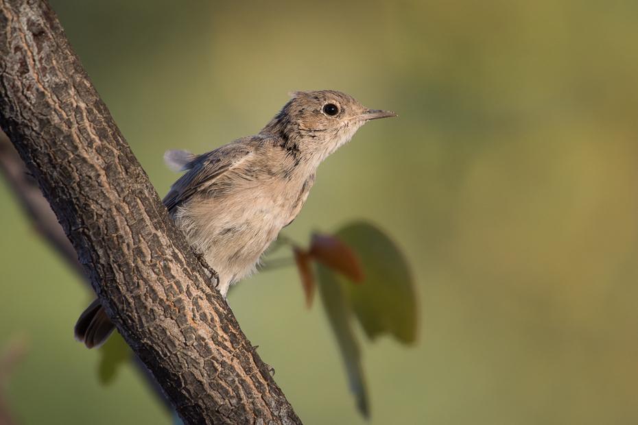Szareczka rdzawosterna Ptaki Nikon D7200 NIKKOR 200-500mm f/5.6E AF-S Namibia 0 ptak dziób fauna dzikiej przyrody zięba słowik wróbel flycatcher starego świata ścieśniać trznadel ortolan