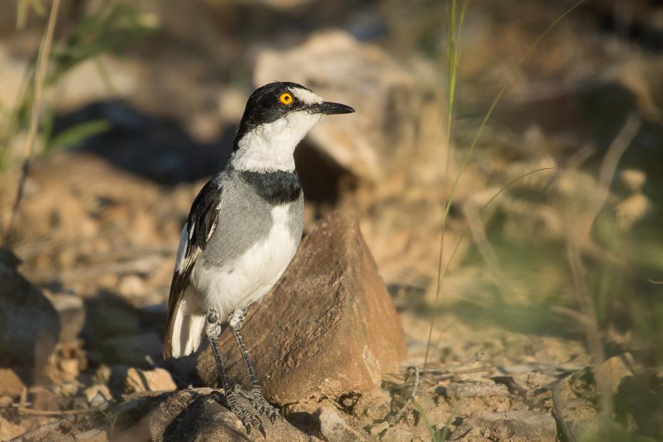 Dzierzbokos Ptaki Nikon D7200 NIKKOR 200-500mm f/5.6E AF-S Namibia 0 ptak fauna dziób dzikiej przyrody organizm