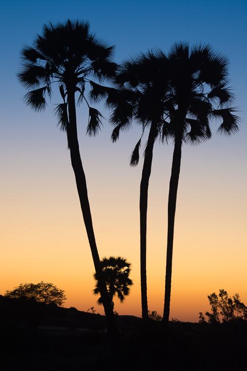 Palmy zachodzie Krajobraz Nikon D7100 AF-S Nikkor 70-200mm f/2.8G Namibia 0 niebo drzewo borassus flabellifer roślina drzewiasta drzewo palmowe Arecales zachód słońca atmosfera ziemi sylwetka Chmura