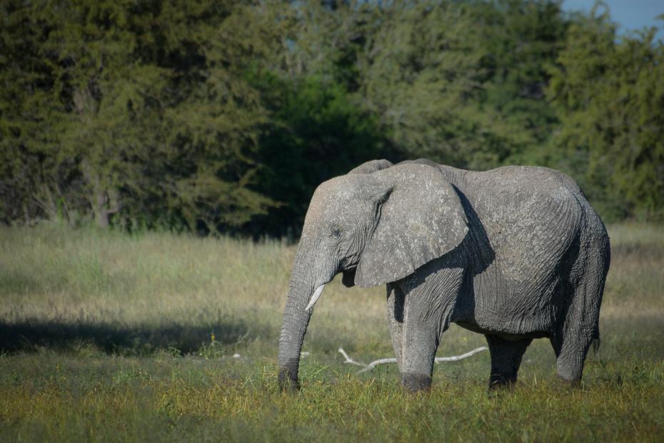 Słoń afrykański Ssaki Nikon D7200 NIKKOR 200-500mm f/5.6E AF-S Namibia 0 słoń słonie i mamuty dzikiej przyrody zwierzę lądowe łąka słoń indyjski fauna rezerwat przyrody Słoń afrykański trawa