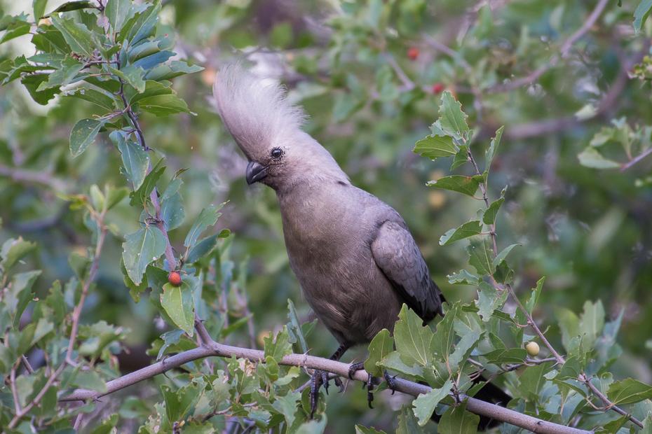 Hałaśnik szary Ptaki Nikon D7200 NIKKOR 200-500mm f/5.6E AF-S Namibia 0 ptak fauna dziób flora dzikiej przyrody drzewo organizm gałąź cuculiformes stock photography gołąb